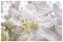 Apfelblüte 3493