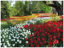 Tulpen 2052