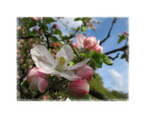 Apfelblüte 6377