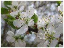 Schlehenblüte 5653