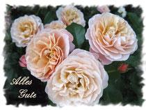 Rose 5874