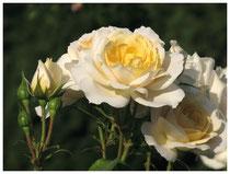 Rose 0423