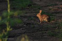 coniglio selvatico
