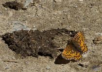 weibl. Kaisermantel - Argynnis (Argynnis) paphia