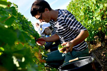 Vendanges Domaine de l'Ermitage Menetou-Salon Photo: V.Hadengue