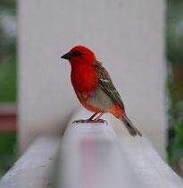 Cardinal, Foudia madagascariensis