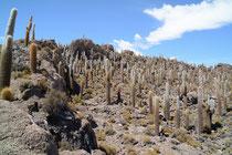 Säulenkakteen auf der Isla Inca Huasi