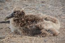 Junger Galápagos Albatross