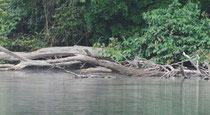 Riesenotter, Parque Nacional de Manú, Peru