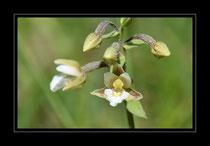 Weisse Sumpfwurz, Epipactis palustris