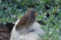 Galápagos Fink / Galápagos Finch