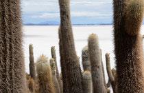 Säulenkakteen auf der Isla Inca Huasi, Salar de Uyuni