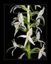 Waldhyazinthe, Plantanthera bifiola
