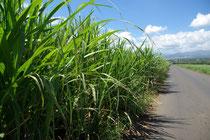 Zuckerrohranbau in St-André