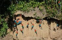 Blanquillo Macaw Lick, Papageien-Salzlecke, Peru