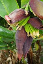 Bananenblühte