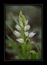 Langblättriges Waldvögelein, Cephalanthéra longifolia