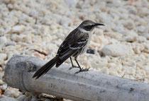 Hood-Spottdrossel / Hood Mockingbird