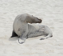 Galápagos-Seelöwe / Galápagos Sea Lion