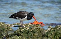 Braunmantel-Austernfischer / Oystercatcher