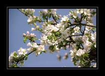 Apfelbaumblühte