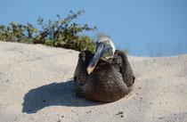 Prachtfregattvogel / Magnificent Frigatebird