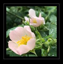 Hecken-Rose (Rosa corymbifera)