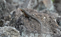 Lavaechse / Lava Lizard