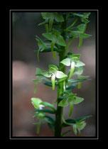 Grübliches Breitkölbchen, Platanthéra corantha