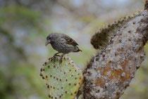 Kaktus-Grundfink / Cactus Finch