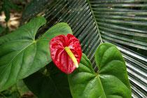 Anthurium, Anthurium andreanum linden