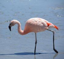 Chileno Flamingo