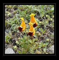 Capachito, Calceolaria uniflora (Lady's slipper)