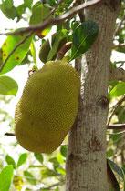 Jacque, Artocarpus heterophyllus