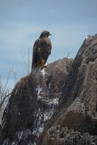 Galápagos Bussard / Galápagos Hawk