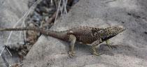 Española Lavaechse / Española Lava Lizard