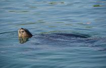 Grüne Meerseschildkröte / Pacific Green Turtle