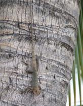 Caméléon, Calotes versicolor