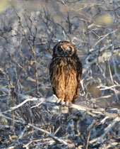 Sumpfohreule / Short-eared Owl