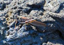 Heuschrecke / Paited Locust