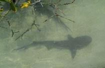 Weisspitzen-Riffhai / White Tipped Reef Shark