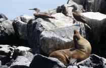Galápagos-Seelöwe, Punta Cormorán, Isla Floreana