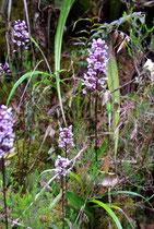 Orchideen, Forêt de Bélouve