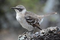 Spottdrossel / Monckingbird
