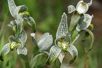 Orquidea porcelana, Chloraea magellanica (Magellan orchid)