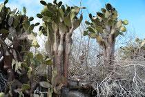 Baumopuntie, Galápagos Feigenkaktus / Prikly Pear Cactus