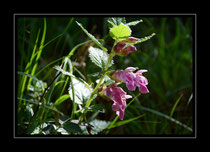 Immenblatt, Melitis melissophyllum