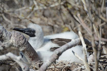 Junger Braunpelikan / Brown Pelican