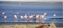 James Flamingo in der Laguna Colorada; Bolivien