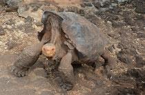 Galápagos-Riesenschildkröte / Galápagos Gigant Tortoise